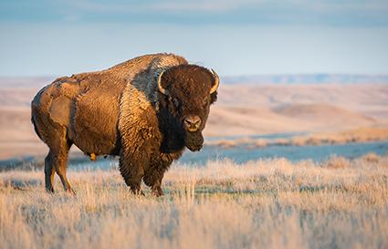 Bisonte pic