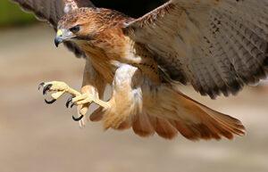 Falco pic