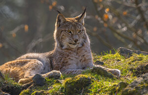 Lince pic
