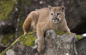 Puma pic