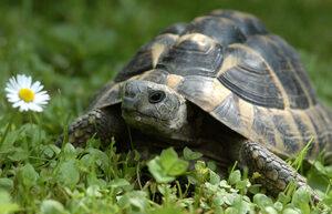 Tartaruga pic