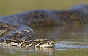 Significato e simbologia dell'Anaconda