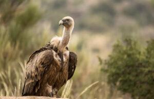 Significato e simbologia dell'Avvoltoio