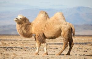 Significato e simbologia del cammello