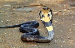 Significato e simbologia del Cobra