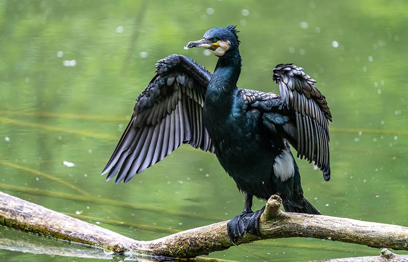 Significato e simbologia del Cormorano