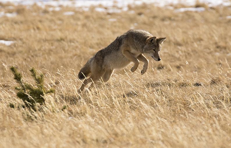 Significato e simbologia del Coyote