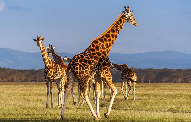 Significato e simbologia della Giraffa