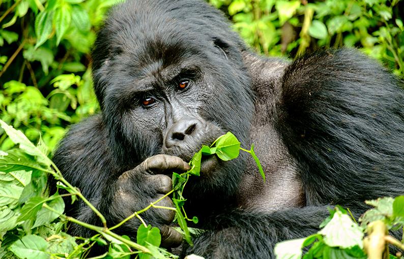 Significato e simbologia del Gorilla