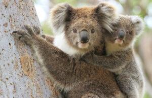 Significato e simbologia del Koala