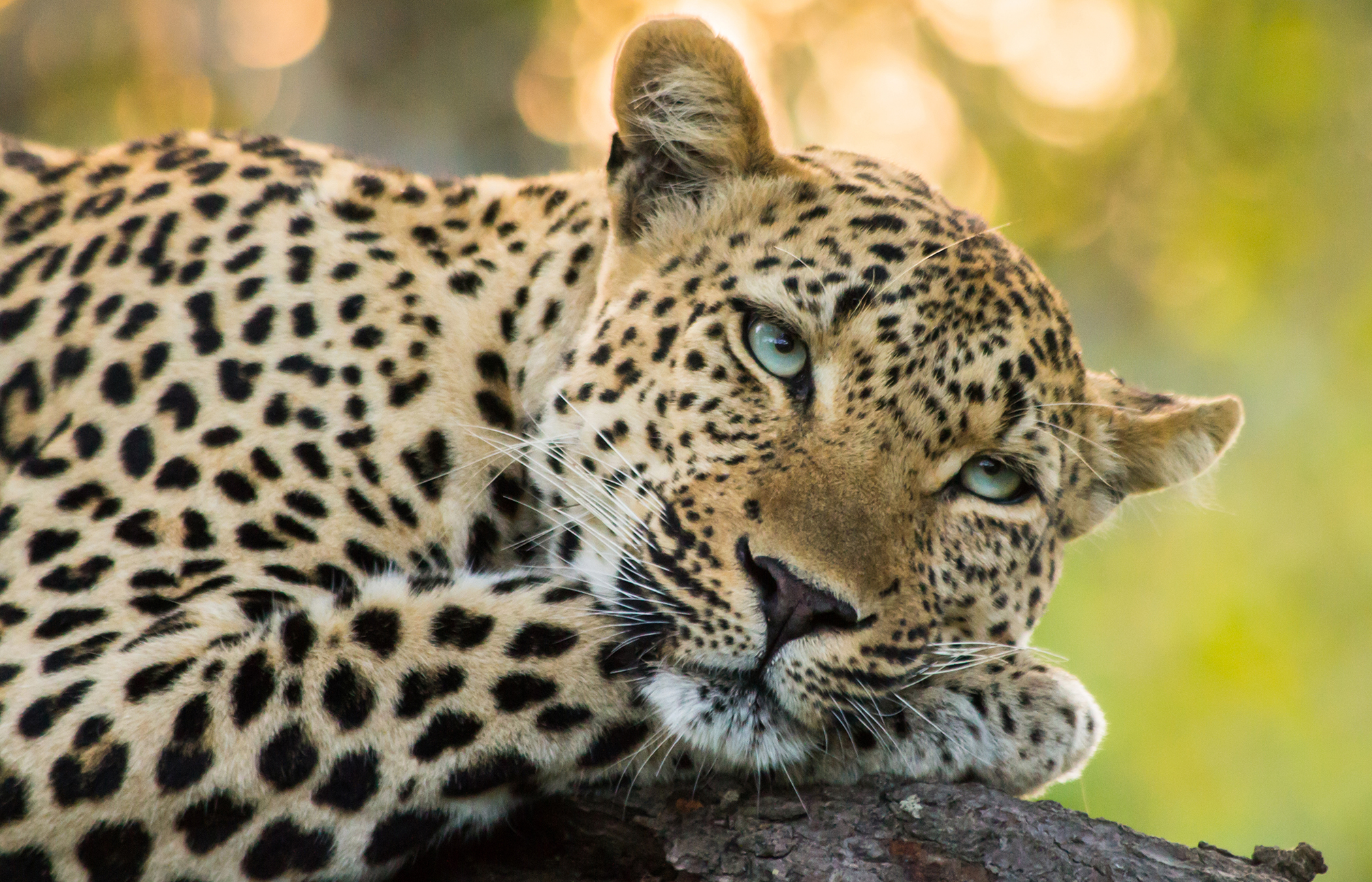 Significato e simbologia del Leopardo