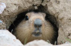 Significato e simbologia della Marmotta
