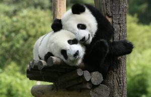 Significato e simbologia del Panda