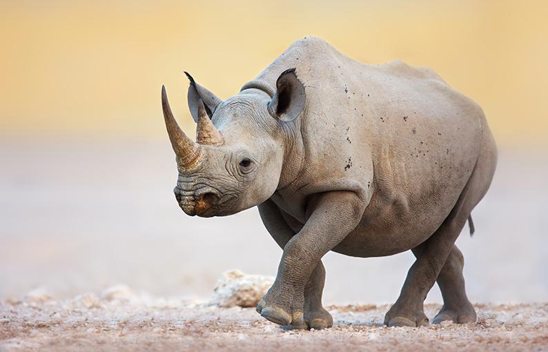 Significato e simbologia del Rinoceronte