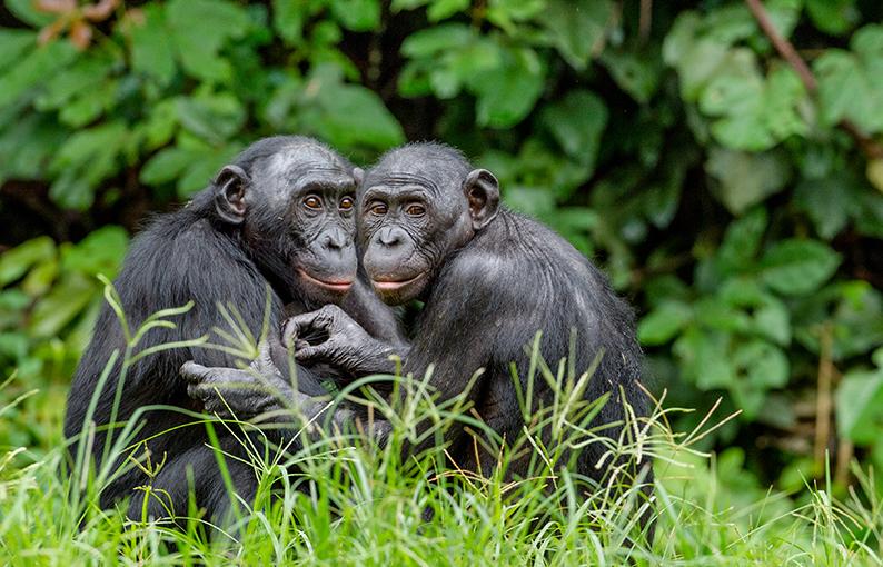 significato e simbologia dello Scimpanzé