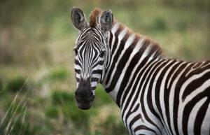 Significato e simbologia della Zebra